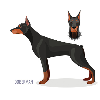 Gorgeous doberman with dark smooth fur stands in profile