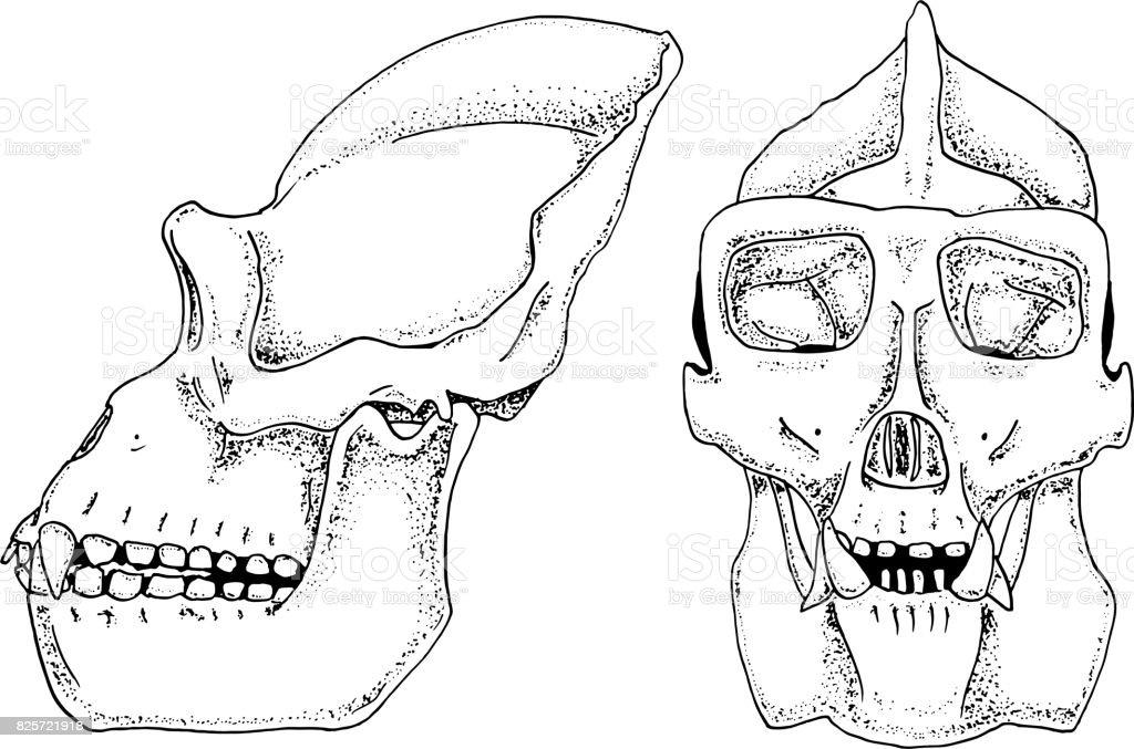 Ilustración de Biología De Gorila Ilustración De La Anatomía Grabado ...