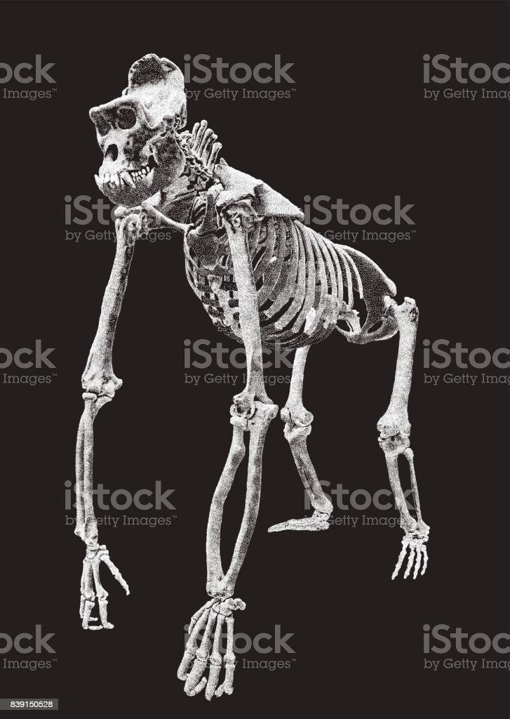 Ilustração de Gorila Esqueleto e mais banco de imagens de Anatomia ...