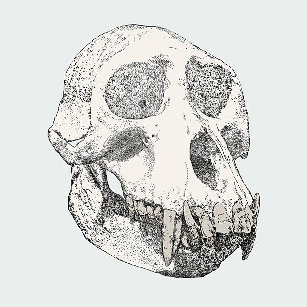 gorilla skull - animal skull stock illustrations