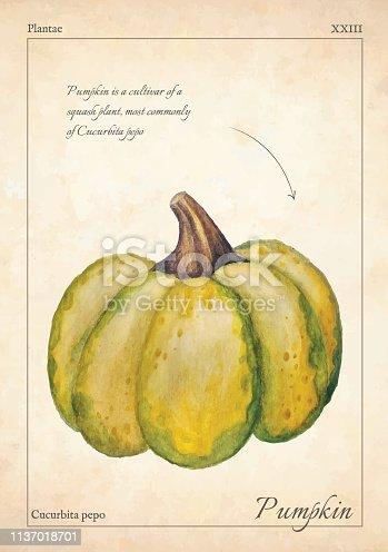 Gourd, pumpkin vector illustration. Green isolated gourd, pumpkin vector illustration for menu, print. Isolated watercolor gourd, pumpkin vector illustration. Isolated gourd, pumpkin for book, card.