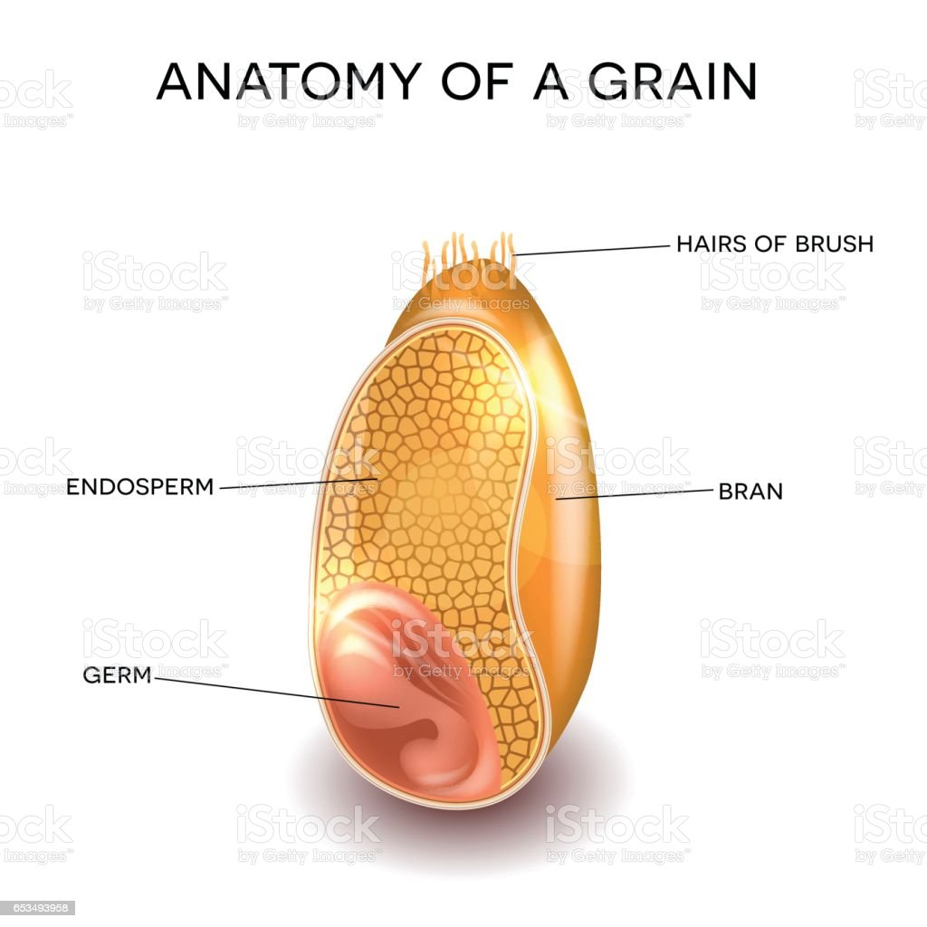 Grain anatomy vector art illustration