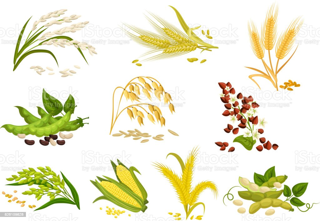 Grain and cereals ears vector isolated icons vector art illustration