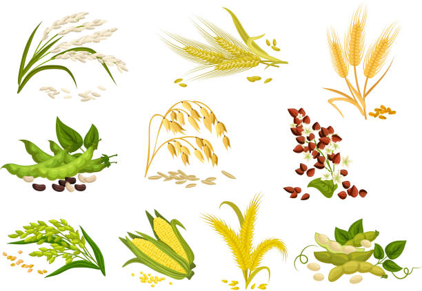 Grain and cereals ears vector isolated icons Cereals icons of grain plants. Vector wheat and rye ears, buckwheat seeds and oat or barley millet and rice sheaf. Isolated agriculture corn cob and legume beans or green pea pods farm crop harvest cereal plant stock illustrations