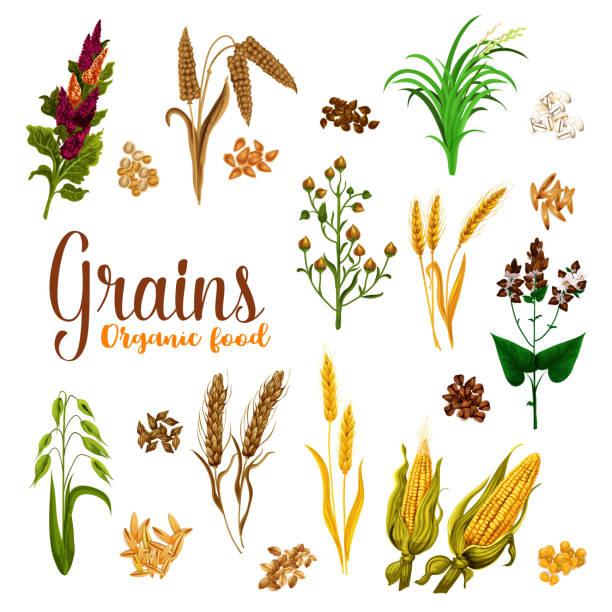 ilustrações de stock, clip art, desenhos animados e ícones de grain seed of cereal with ear icon for food design - quinoa