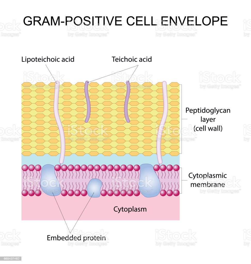 Gram-positive cell envelope vector art illustration