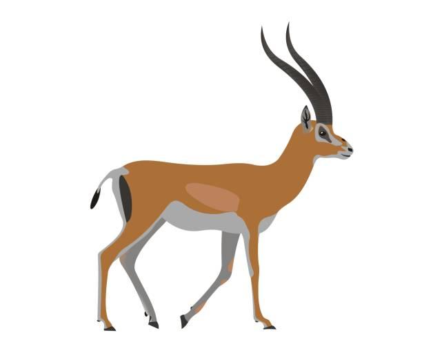 stockillustraties, clipart, cartoons en iconen met grant gazelle, nanger granti - antilope