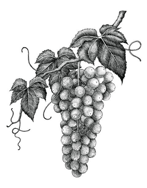 Grape branch hand drawing engraving vintage isolated on white background Grape branch hand drawing engraving vintage isolated on white background bunch stock illustrations