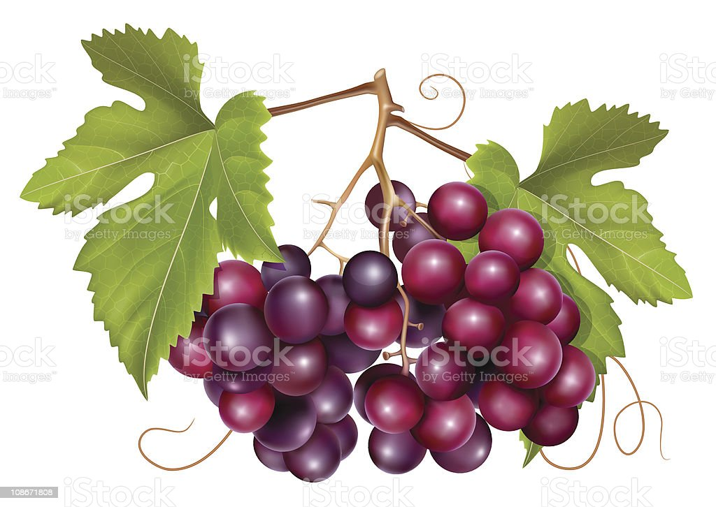 Grape cluster royalty-free stock vector art