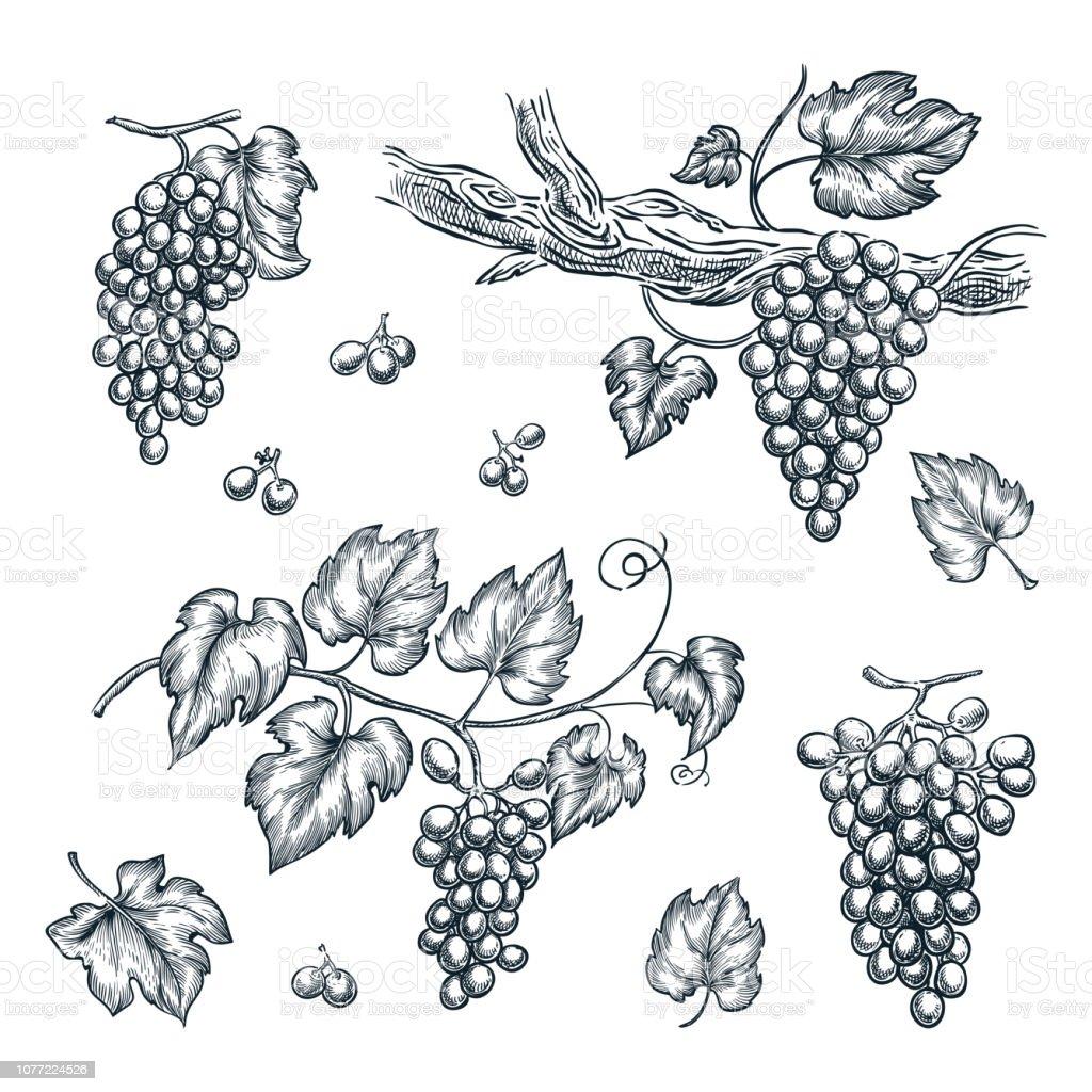 Raisin Sur Dessin De Croquis Pour Le Vecteur Vigne éléments