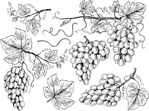 bildbanksillustrationer, clip art samt tecknat material och ikoner med druva skiss. blommiga bilder vin druvor med löv och rankor vingård gravyr vektor handritade illustrationer - vindruva
