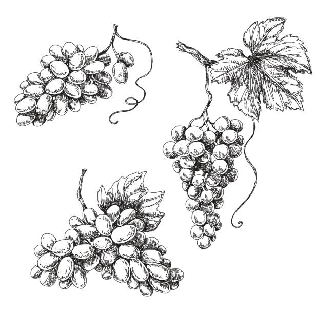 grape sketch monochrome - vine stock illustrations, clip art, cartoons, & icons
