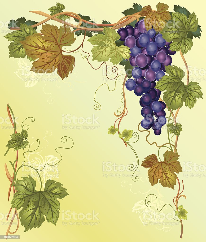 Vector illustration. Fruits and leaves of ripe Vineyard. A crop...