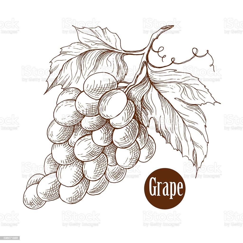 Grape Vine Branches Vector Illustrationhandmade Engraving Style