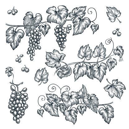 Grape vine sketch vector illustration. Hand drawn isolated design elements