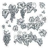 Grape vine sketch vector illustration. Hand drawn isolated design elements.