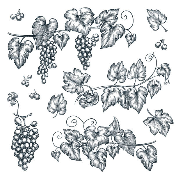 Grape vine sketch vector illustration. Hand drawn isolated design elements Grape vine sketch vector illustration. Hand drawn isolated design elements. bunch stock illustrations
