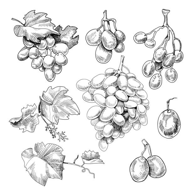 Grapes bunch sketch Grapes bunch sketch. Black berry growing in clusters on a grapevine, eaten as fruit, used in making wine, hand drawn decor. Vector illustration on white background bunch stock illustrations