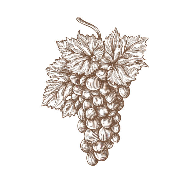 Grapes engraving Grapes engraving vector illustration. Ink line draw vector. Drawing engraving illustration bunch stock illustrations