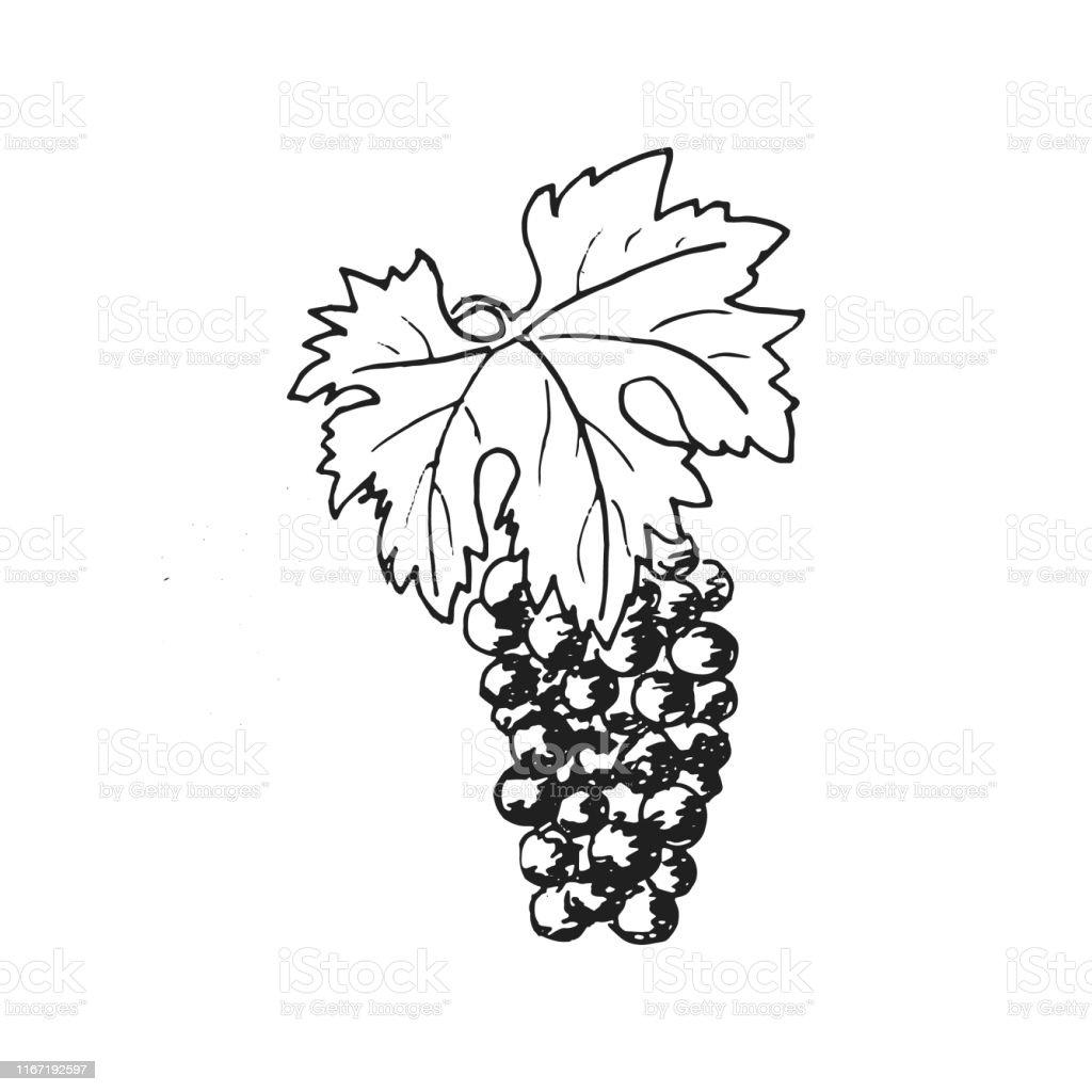 Grapes. Grape wine, Hand drawn engraving illustration, minimalism...