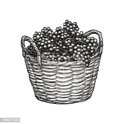Grapes in basket. Isolated on white background. Hand drawn vector illustration. Retro style.