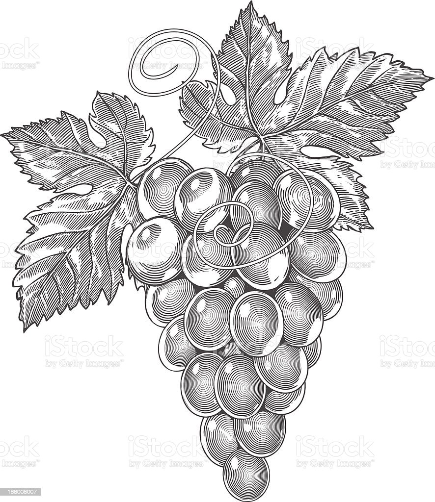 Grapes in vintage engraved style vector art illustration