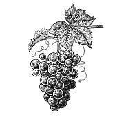 Grapes. Realistic hand drawing.