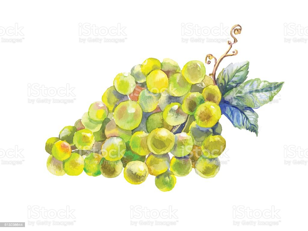 grapes watercolor vector art illustration