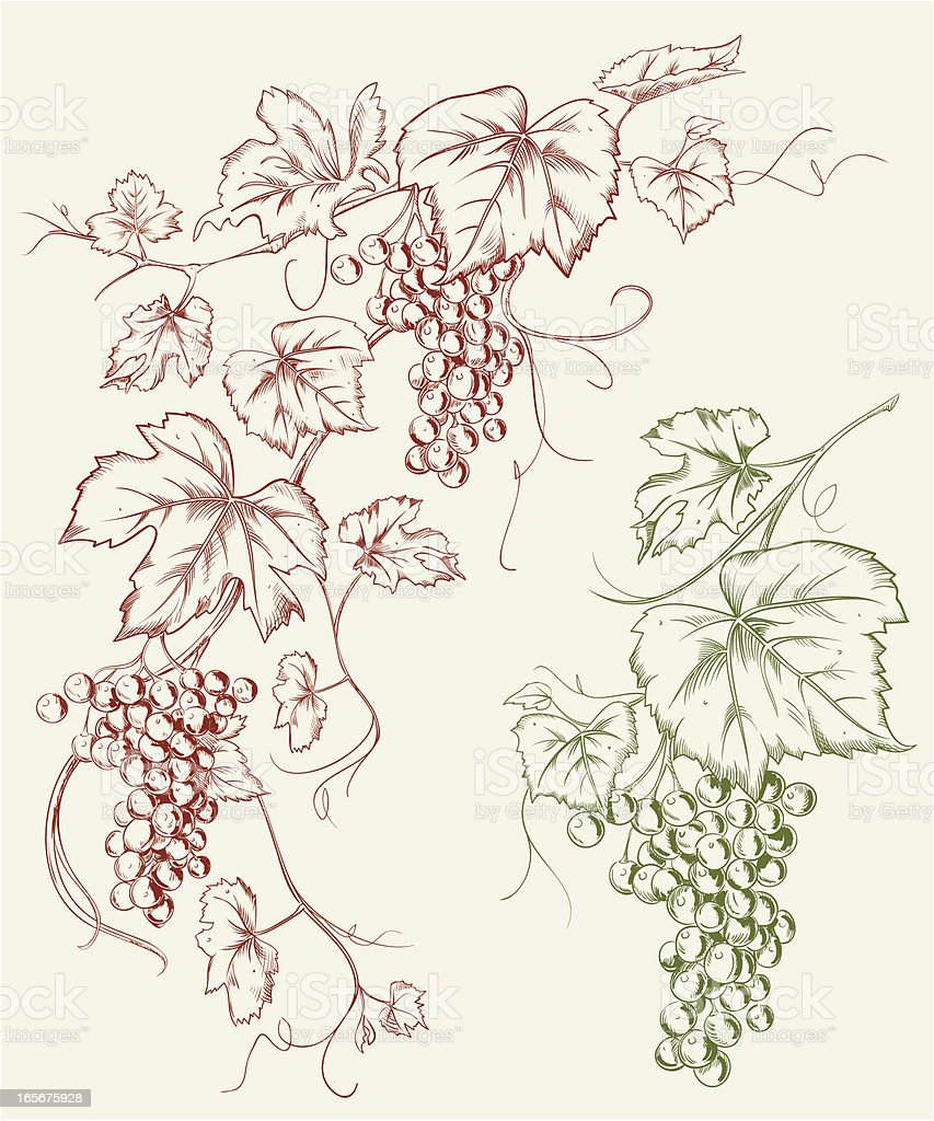Grapevine Grape Line Art Drawing Stock Vector Art & More Images of ...