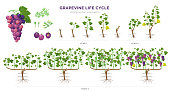 Grapevine growing stages infographic elements in flat design. Planting process of grape 1 - 3 years from seeds,  sprout, bud break, flowering, fruit set, veraison, harvest, ripe grape bunch isolated