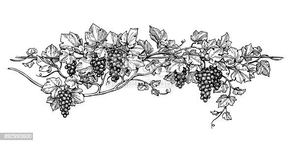 istock Grapevine ink sketch 692993600