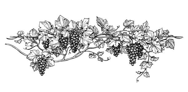 grapevine ink sketch - vine stock illustrations, clip art, cartoons, & icons