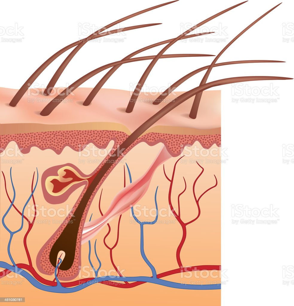Graphic Anatomy Design Of Human Hair Follicles In Skin Stock Vector