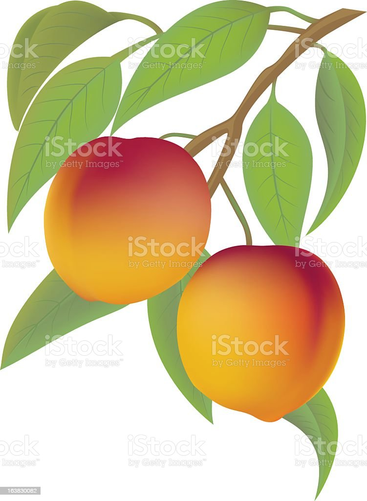 Graphic animation of two peaches hanging from tree vector art illustration