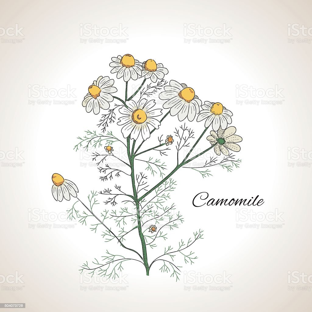Graphic design herb chamomile vector art illustration