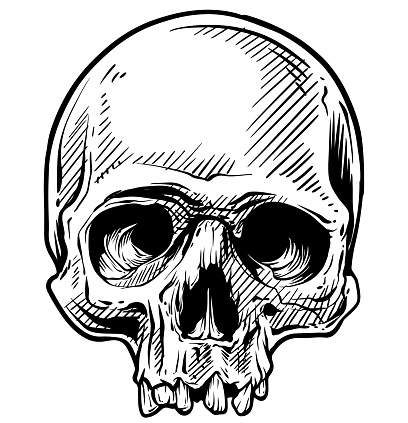 Graphic detailed hand drawn human skull sketch