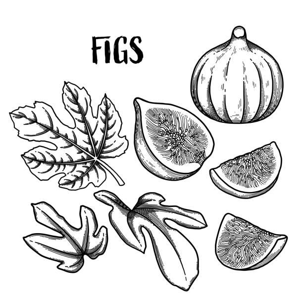 bildbanksillustrationer, clip art samt tecknat material och ikoner med grafisk fig frukter och blad isolerad på vit bakgrund - fikon