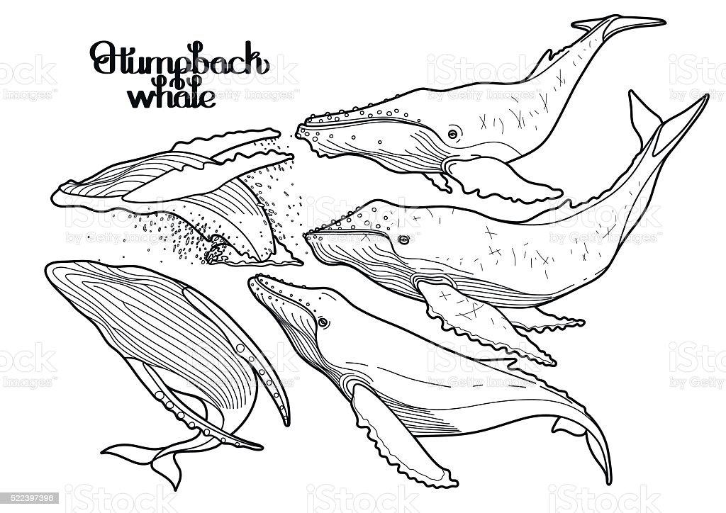 Grafik Buckelwale – Vektorgrafik