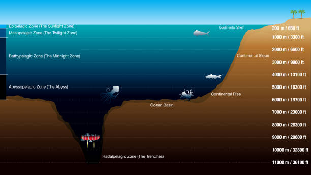 Graphic shows the 5 zones according to the depth of the ocean, with scale in meters and feet. The graphic includes silhouettes of fish, octopus, squid and submarine Graphic shows the 5 zones according to the depth of the ocean, with scale in meters and feet. The graphic includes silhouettes of fish, octopus, squid and submarine. Vector image alejomiranda stock illustrations