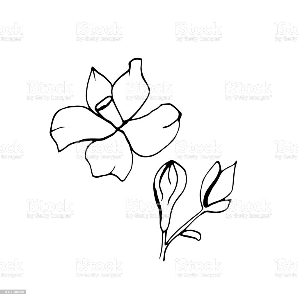 Graphic Sketches Branches Neroli Illustration For Greeting Cards And