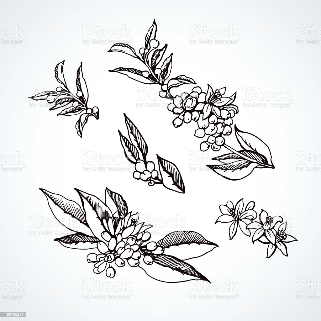 Graphic sketches branches Neroli vector art illustration