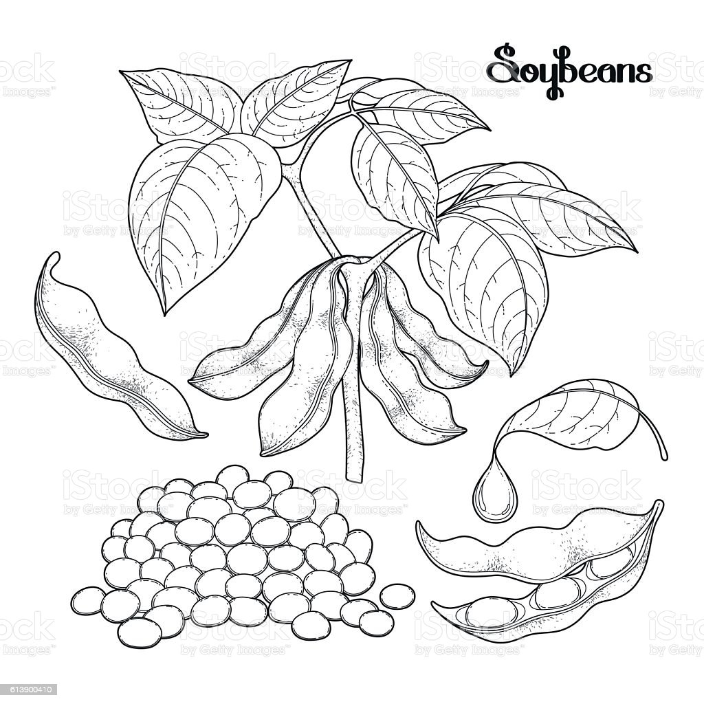 Graphic Soybean Collection Stock Vector Art More Images Of Adult