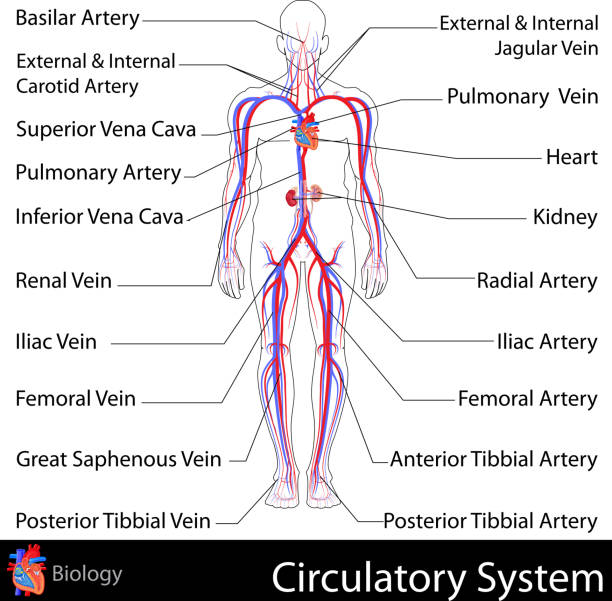 A graphical labeled representation of the circulatory system vector art illustration