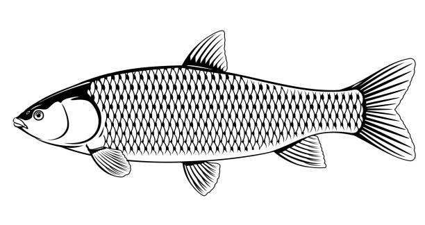 ilustrações de stock, clip art, desenhos animados e ícones de grass carp black and white - aquacultura