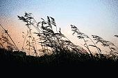 Mezzotint illustration close up of Grass on a Iowa farm