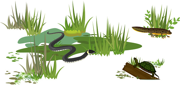 Grass snake or Natrix natrix, European pond turtle (Emys orbicularis) and newt in swamp biotope isolated on white background