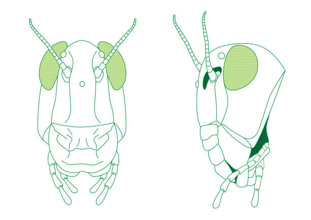 Royalty free insect mandible clip art vector images illustrations grasshopper head diagram vector art illustration ccuart Images