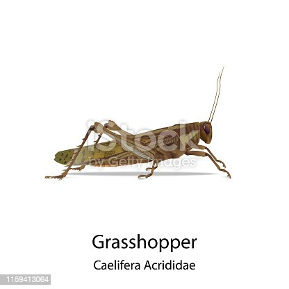 Grasshopper vector on white background and had shadow,text for type of it.