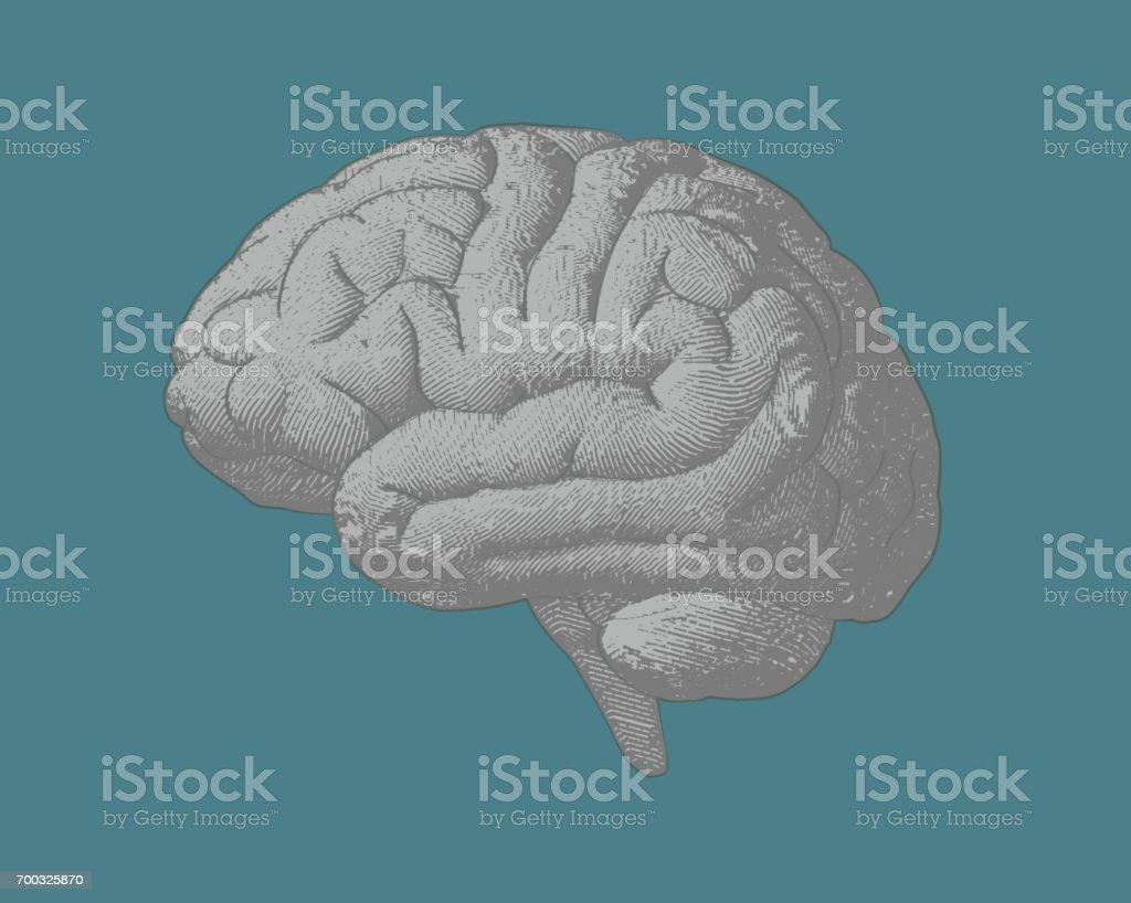 Ilustración de Grabado De La Ilustración Del Cerebro En Bg Verde ...