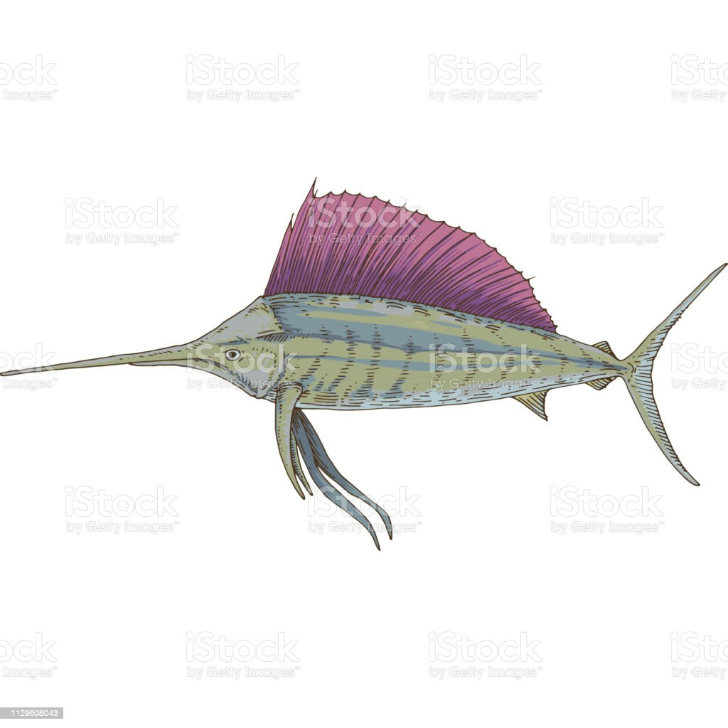 Gray Sailfish With Violet Fin Stock Illustration - Download Image